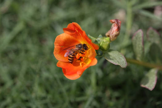 Bee Collecting Pollens