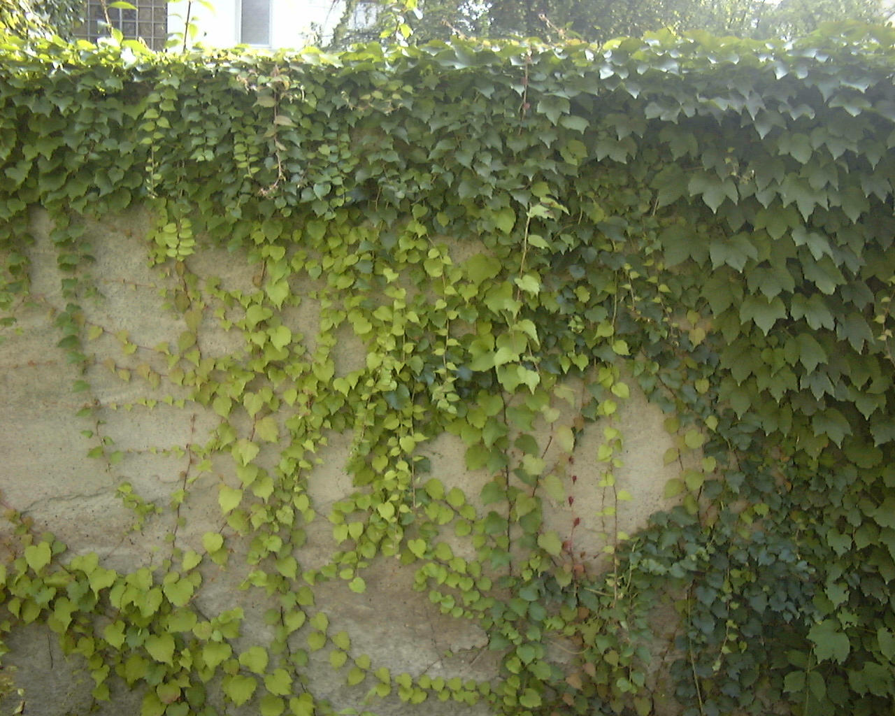 Urban wall gardening - 1000 Images About Ivy On Pinterest