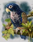 Pionus-chalcopterus-Juanchi