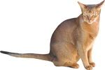 stock sitting cat png