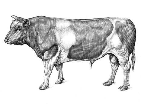 Domestic Bull