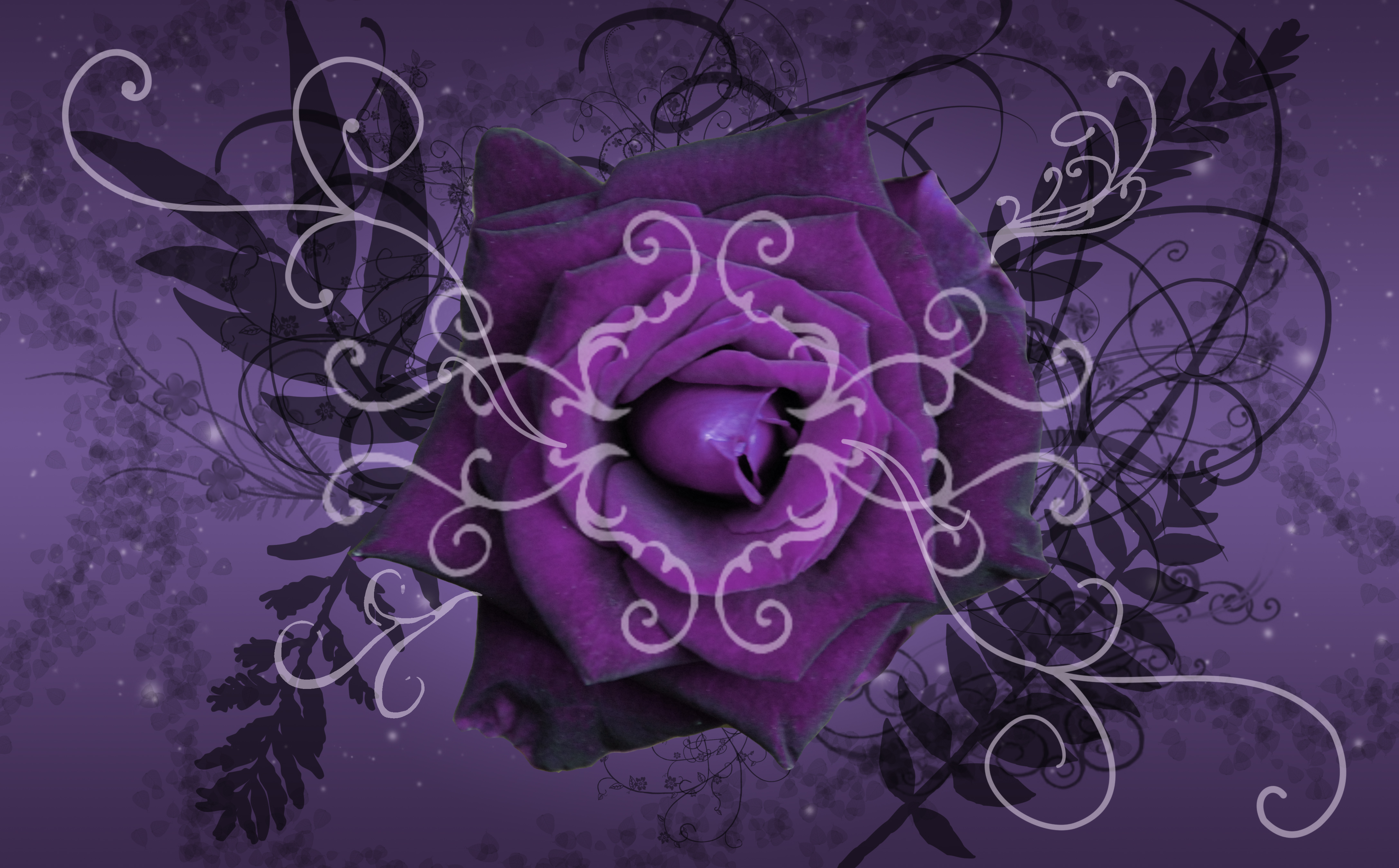 wallpapers of purple roses - photo #35
