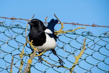 Curious Magpie