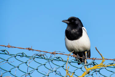 Solitary Magpie