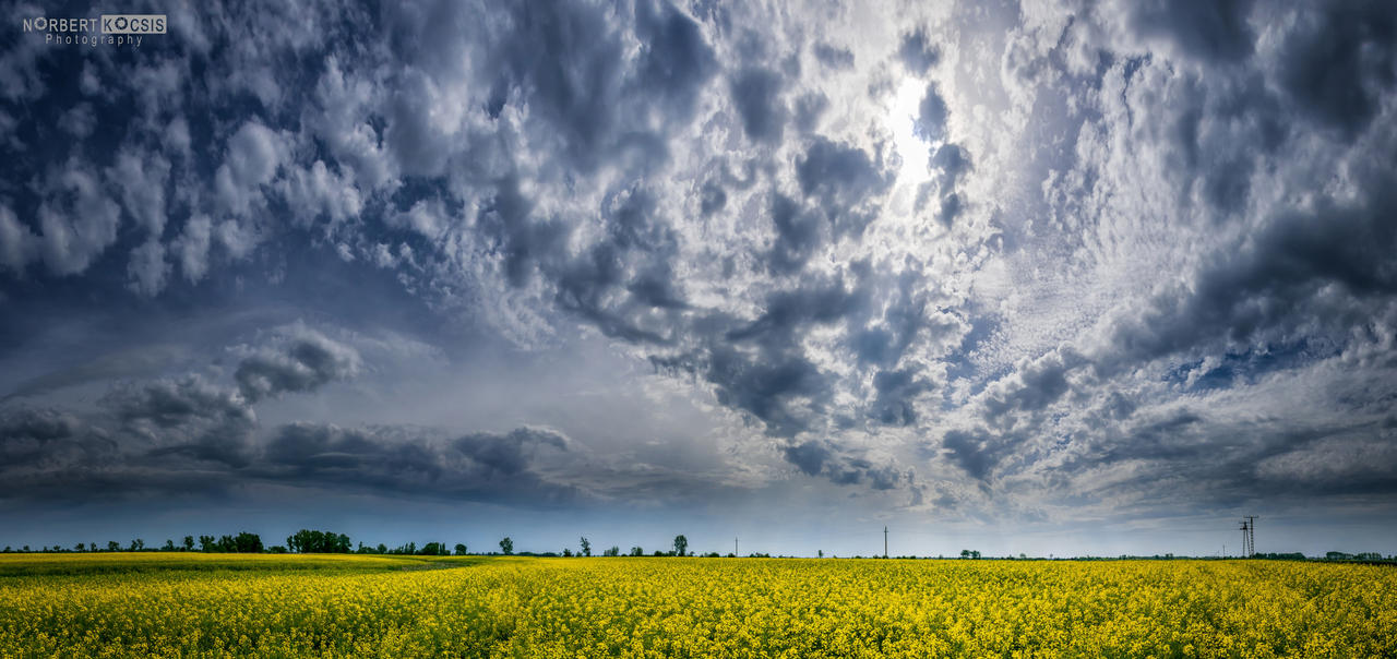 Colza field by NorbertKocsis