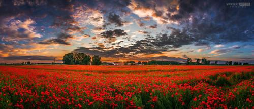 Huge poppy field