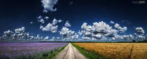 Phacelia and wheat field