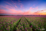 Purple poppy blossoms field at sunset