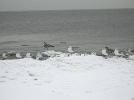 sea gulls 1 by Stock-Tenchigirl15