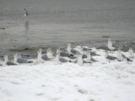 sea gulls 2 by Stock-Tenchigirl15