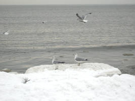 sea gulls 3 by Stock-Tenchigirl15