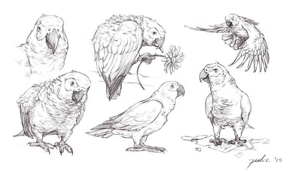 Sketches: African Greys