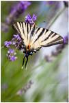 swallowtail -