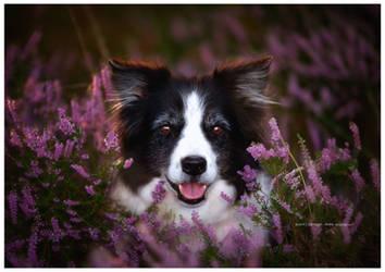 purple haze by corniger-aries