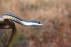 Sonoran Whipsnake - color by abikeOdyssey