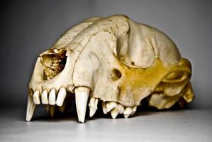 Raccoon skull again by abikeOdyssey