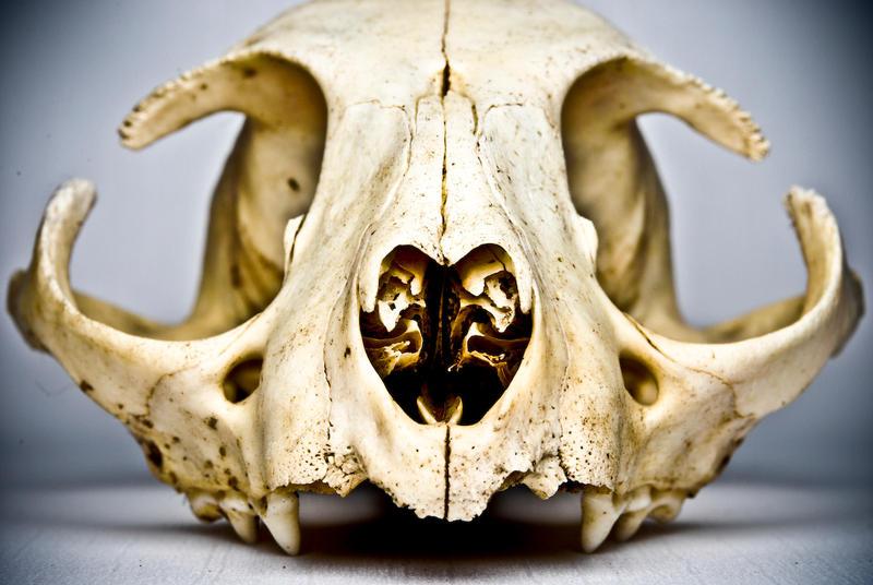 Cat Skull by abikeOdyssey