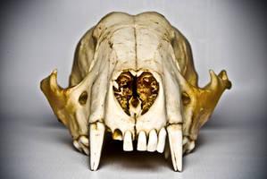 Raccoon Skull by abikeOdyssey