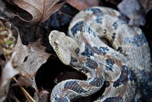 Timber Rattlesnake by abikeOdyssey