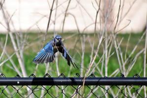 Blue Jay in flight by abikeOdyssey