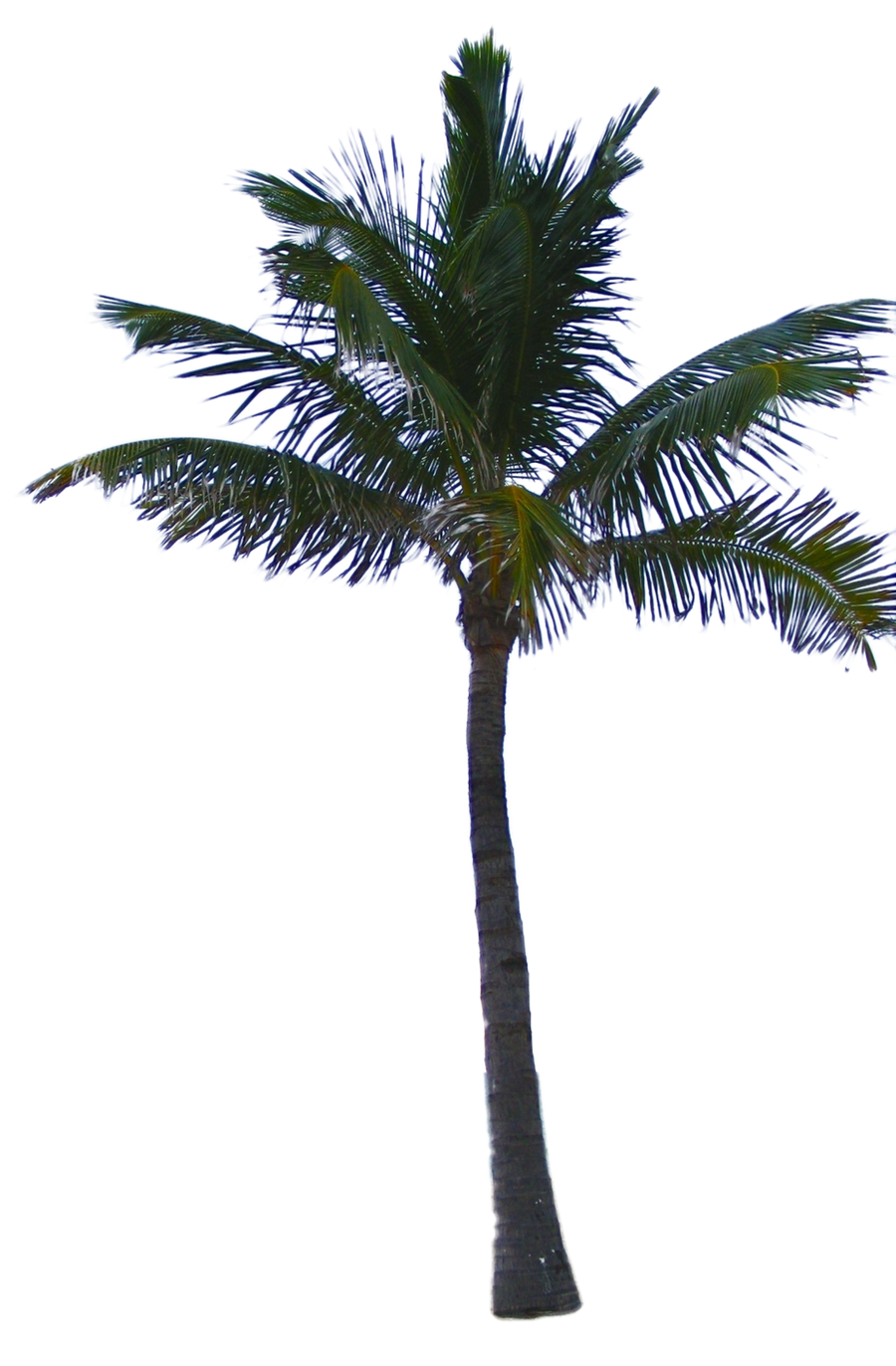 Palm Tree Leaves Png Palm tree tube stock png by