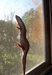 Lizard on my Screen