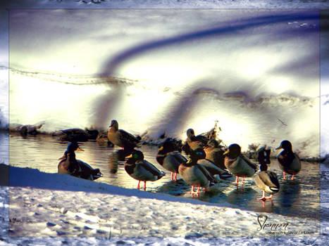 Little family of ducks