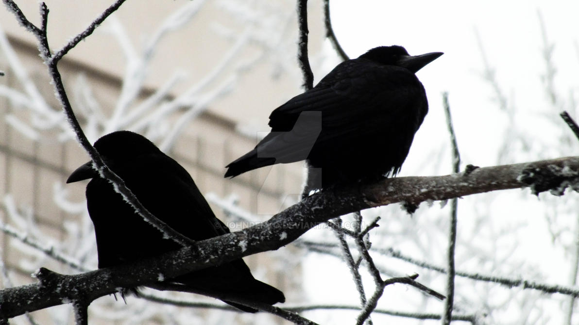 Crows by johnpenko