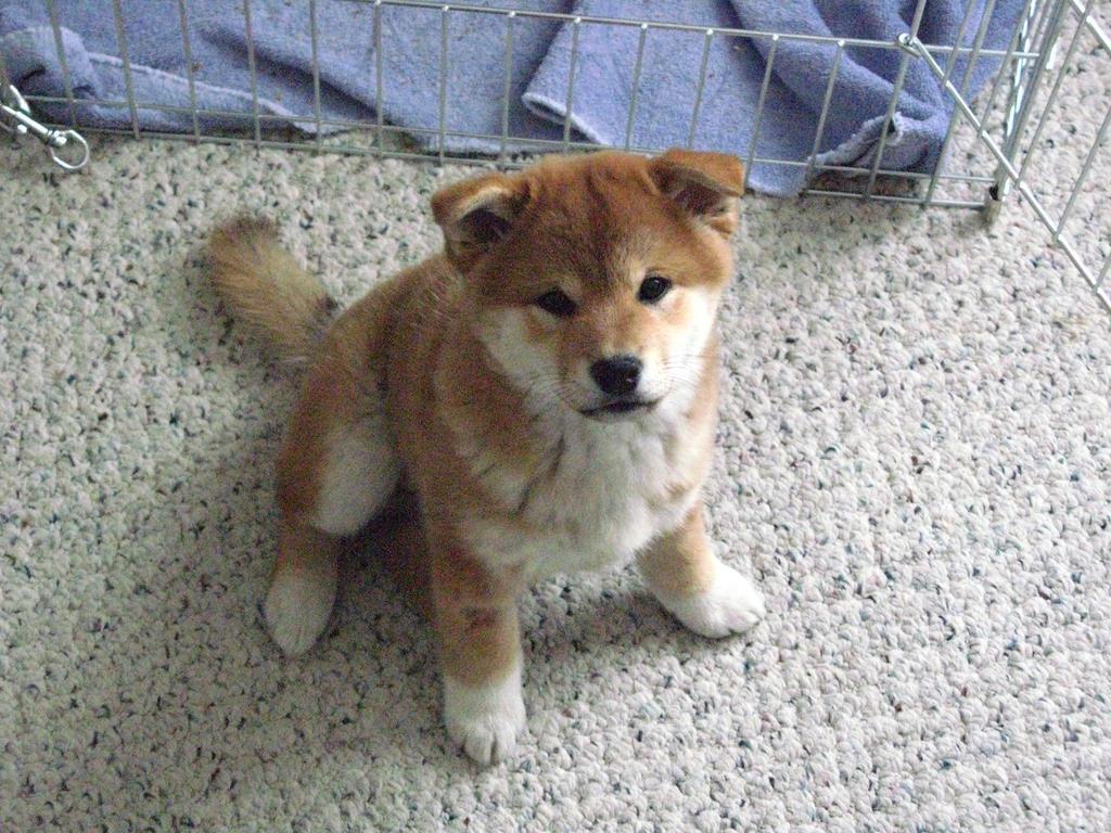 Shiba Inu Puppy Stock by