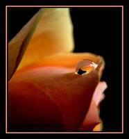 Rose Drop..... by Pjharps