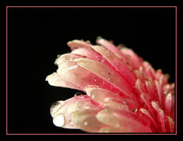 Pink and White....2 by Pjharps
