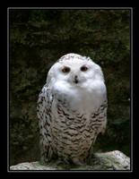 Snowy Owl.... by Pjharps