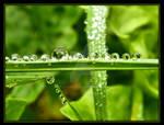 Dew Drops....