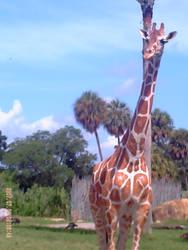 LOOK a giraffe by rainbow224