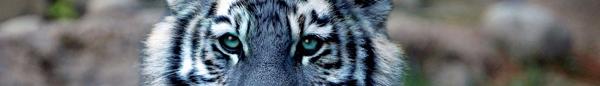 [Obrazek: cryptozoology_banner_maltese_tiger_by_ow...bkjbkw.png]