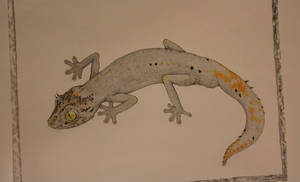 Northern Spiny Tail Gecko
