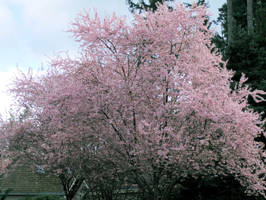 Maple Valley Cherry Blossom by infin8yquest