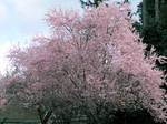 Maple Valley Cherry Blossom