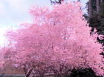 Cherry Blossom accent edge