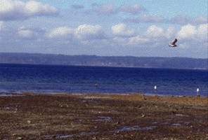 Dash Point Seagull 3 by infin8yquest