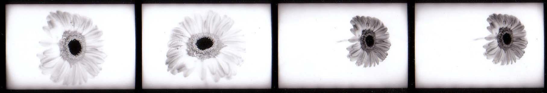ringelblumen by damienhirst12