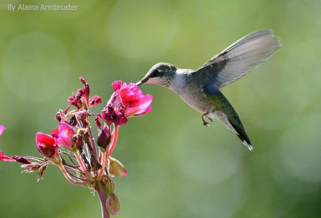 Hummingbird Feeding by AlainaLee