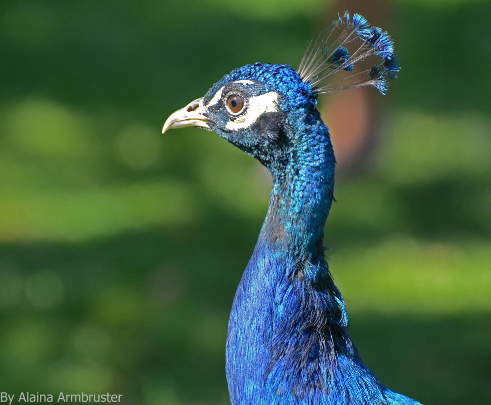 Posing Peacock by AlainaLee
