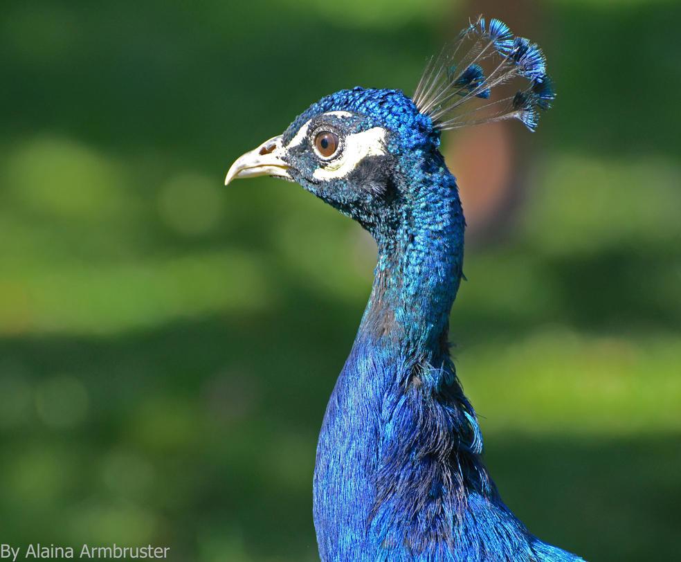 Posing Peacock by AlainaLee