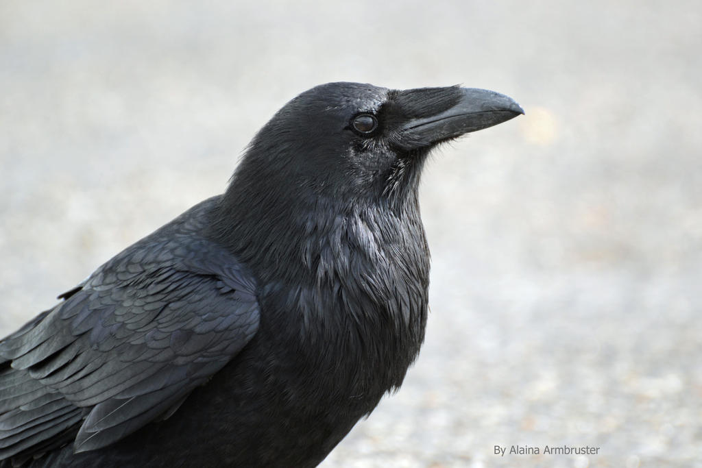 Raven up close by AlainaLee