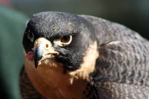 Falcon Feast by cobaltsennheiser