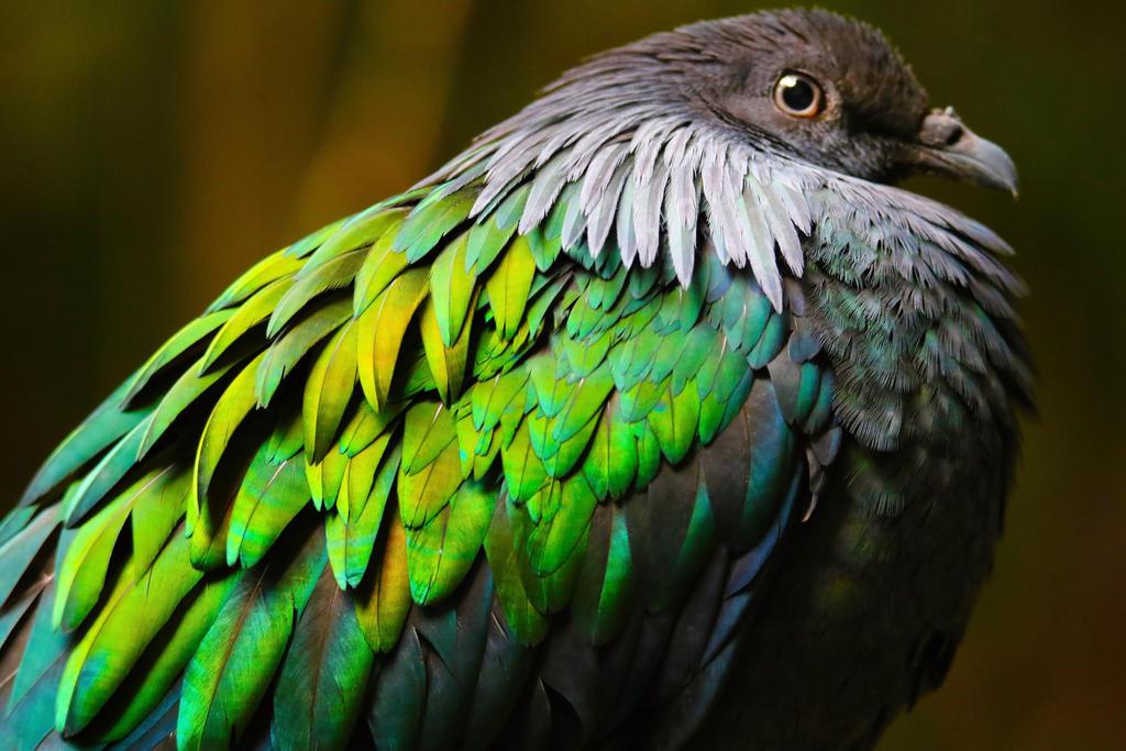 Nicobar Pigeon Floof by cobaltsennheiser