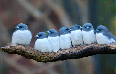 White-breasted Woodswallow by cobaltsennheiser