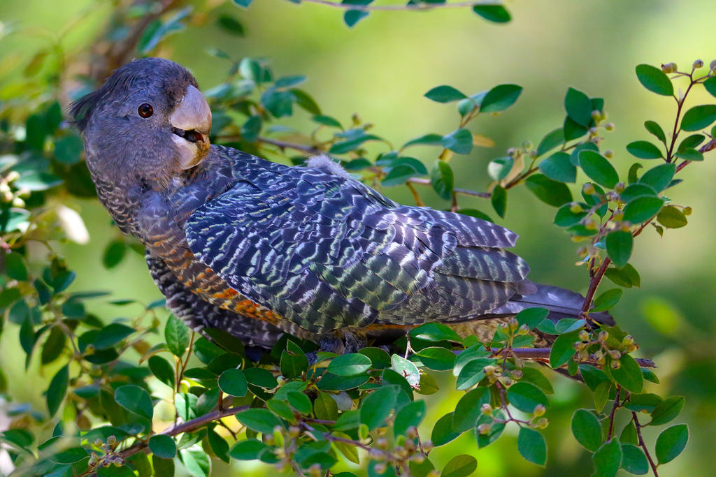 Juvenile Cockatoo by cobaltsennheiser