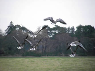 Geese by DanaVarahi